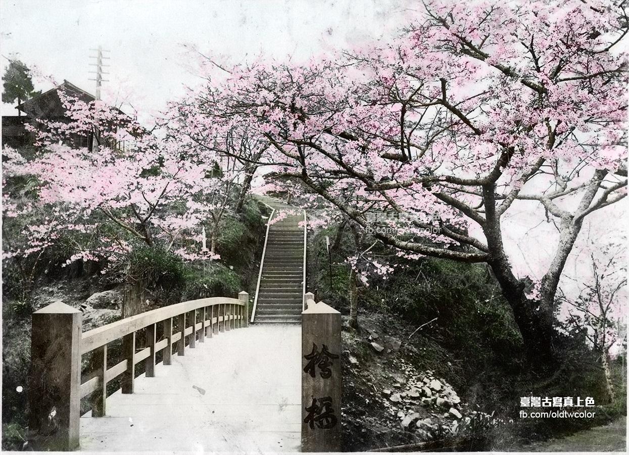 日本統治時代阿里山桜